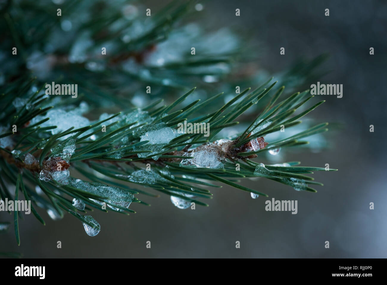 Icy fir tree branch - Stock Image