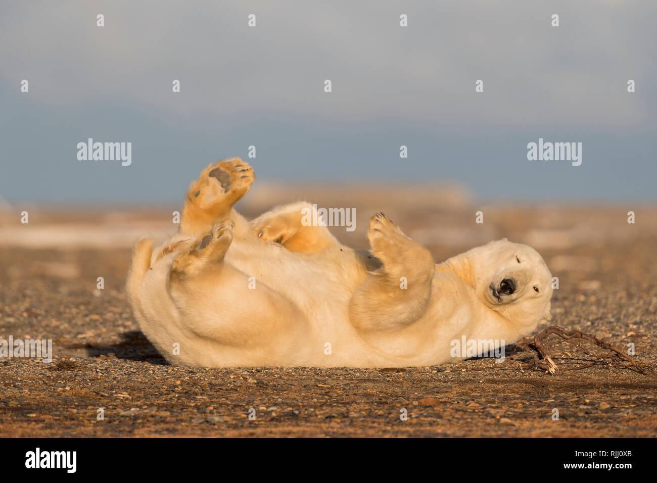Polar Bear (Ursus maritimus, Thalarctos maritimus). Cub playing. Kaktovik, Alaska. - Stock Image