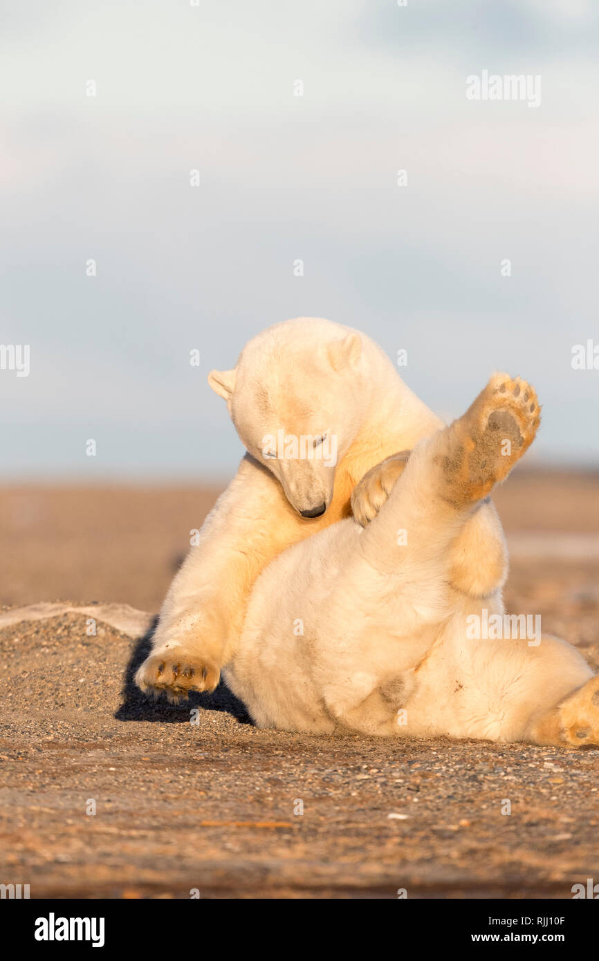 Polar Bear (Ursus maritimus, Thalarctos maritimus). Juvenile grooming. Kaktovik, Alaska. - Stock Image