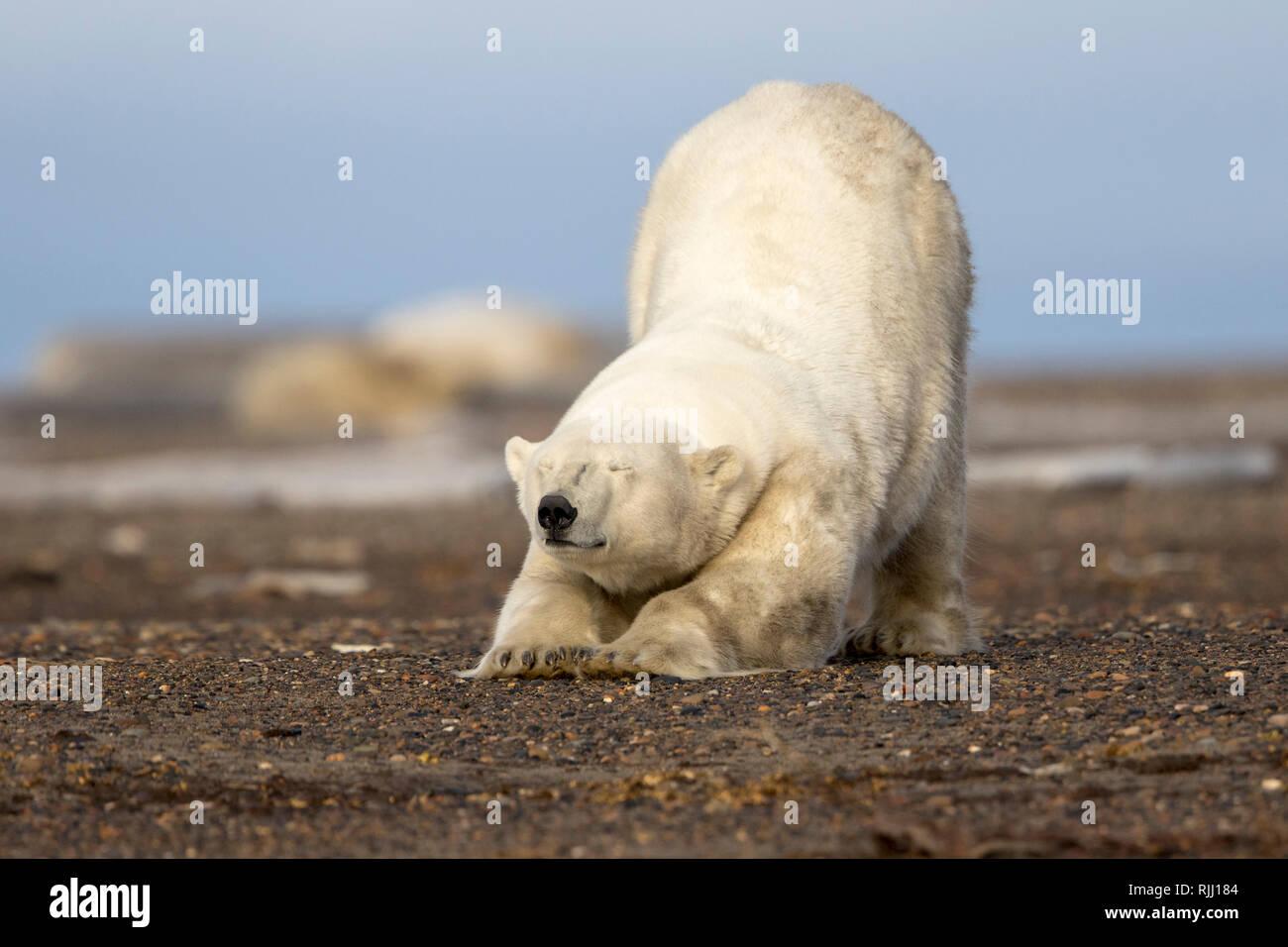 Polar Bear (Ursus maritimus, Thalarctos maritimus). stretching. Kaktovik, Alaska. - Stock Image