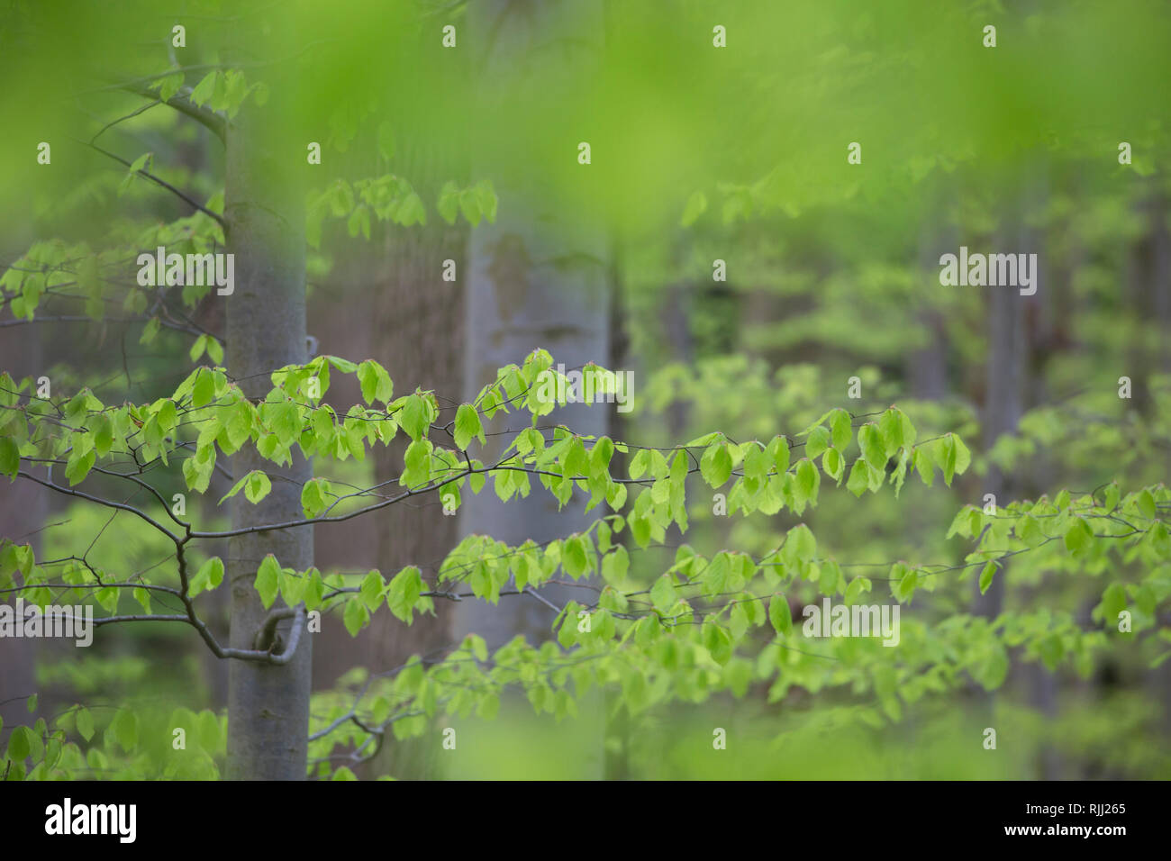 Common Beech (Fagus sylvatica). Beech forest in spring. Schleswig-Holsten, Germany - Stock Image