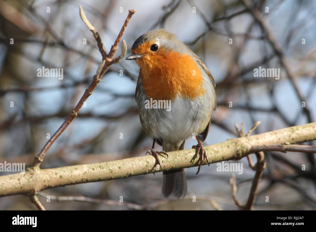 European Robin (Erithacus rubecula) at a Park in Recklinghausen, Germany - Stock Image
