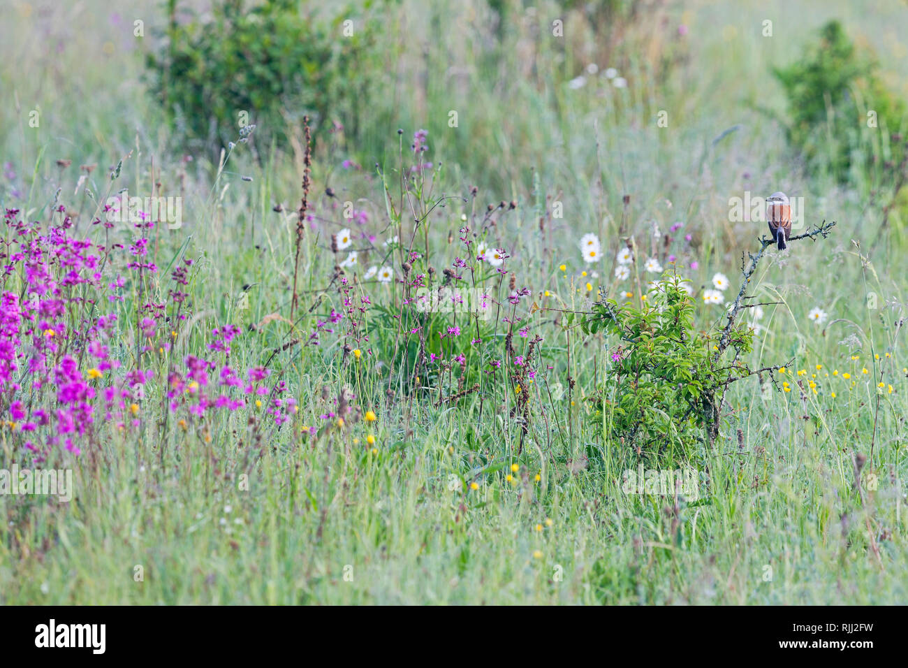 Red-backed Shrike (Lanius collurio). Male on a thorny twig in a meadow. High Tatras, Slovakia Stock Photo