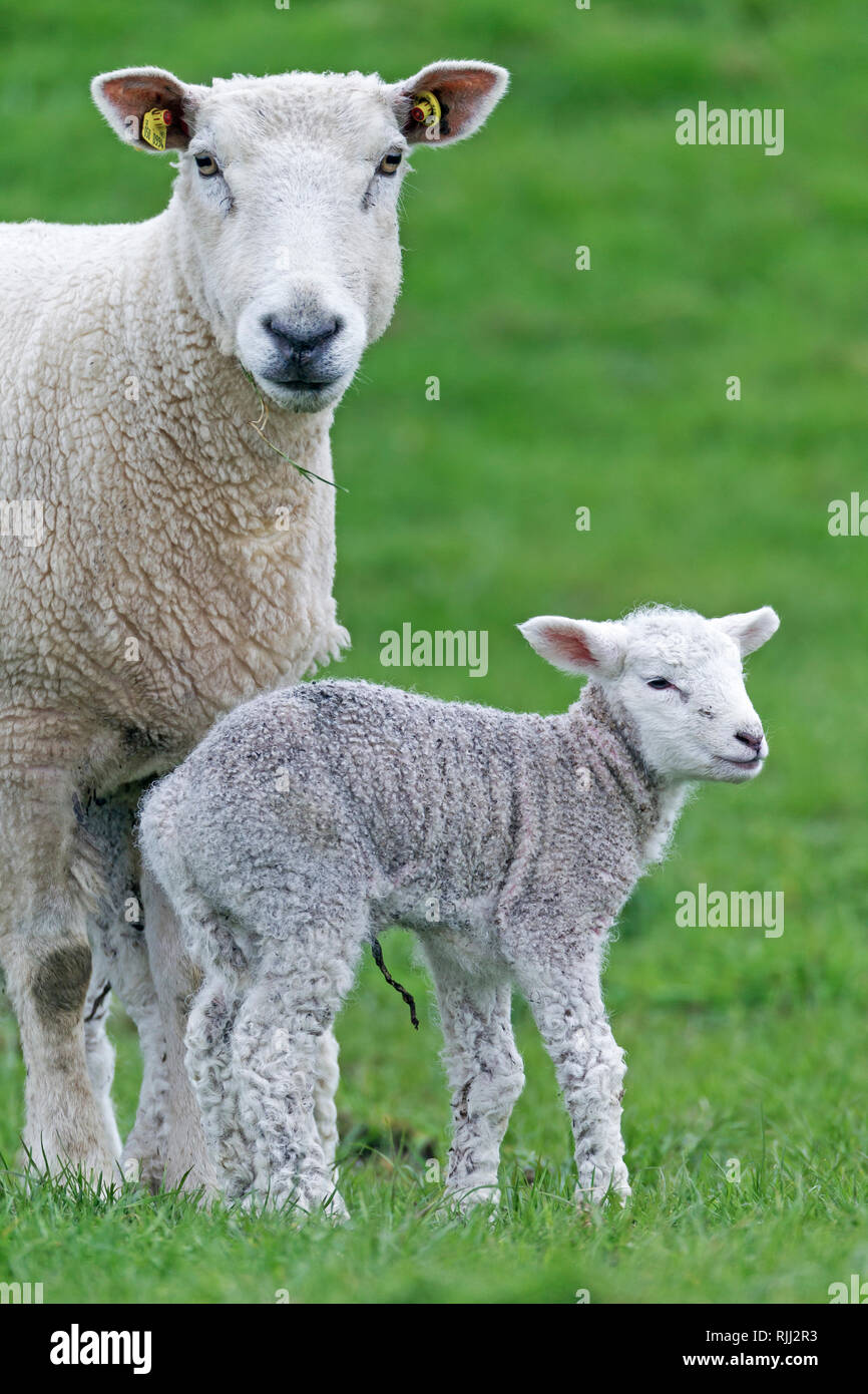 Domestic Sheep. Ewe and newborn lamb on a pasture. Schleswig-Holstein, Germany - Stock Image