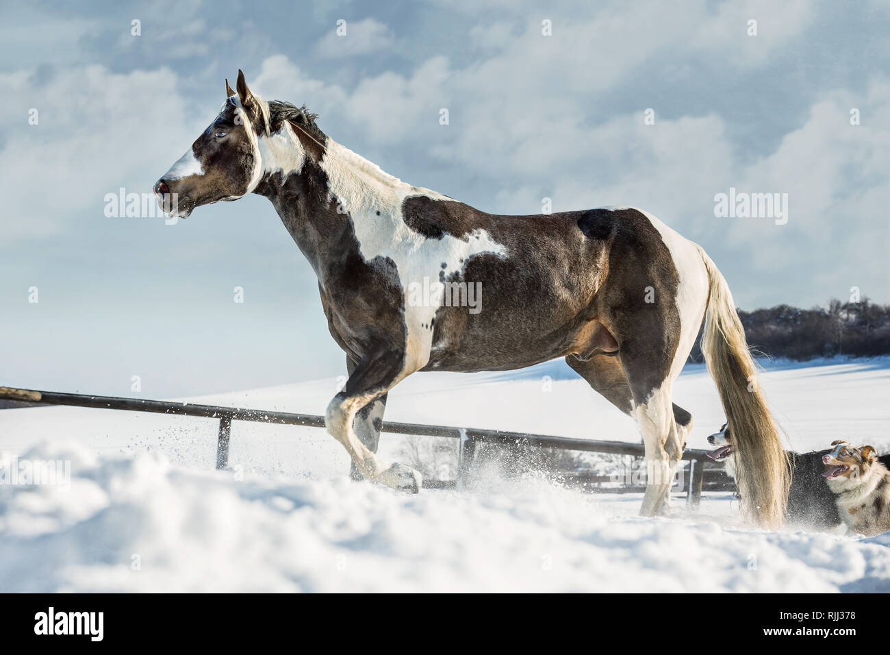 QT PATCHED BUCKY, American Paint Horse in sunny day in winter. Czech Republic - Stock Image