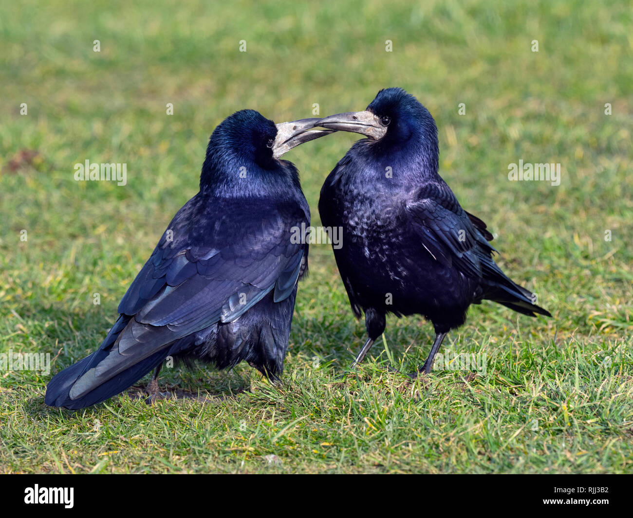 Rooks Corvus frugilegus pairing up in early February east coast Norfolk - Stock Image