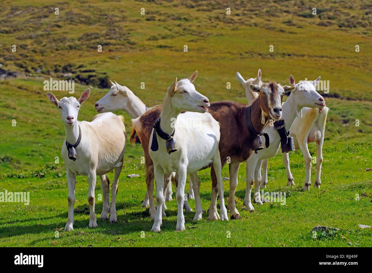 Saanen Goats Stock Photos & Saanen Goats Stock Images - Alamy