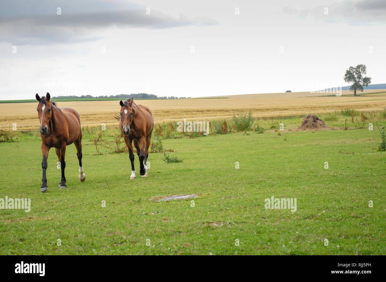 Pferde auf der Wiese in der Schwalm Stock Photo