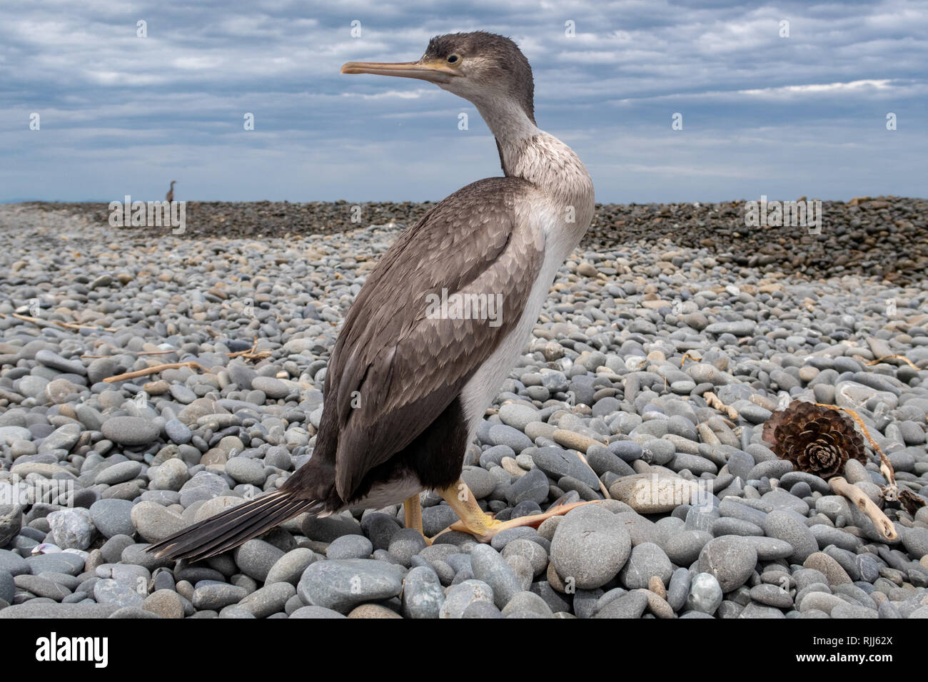 A juvenile spotted shag watches its surroundings as it rests on a beach in Canterbury, New Zealand - Stock Image