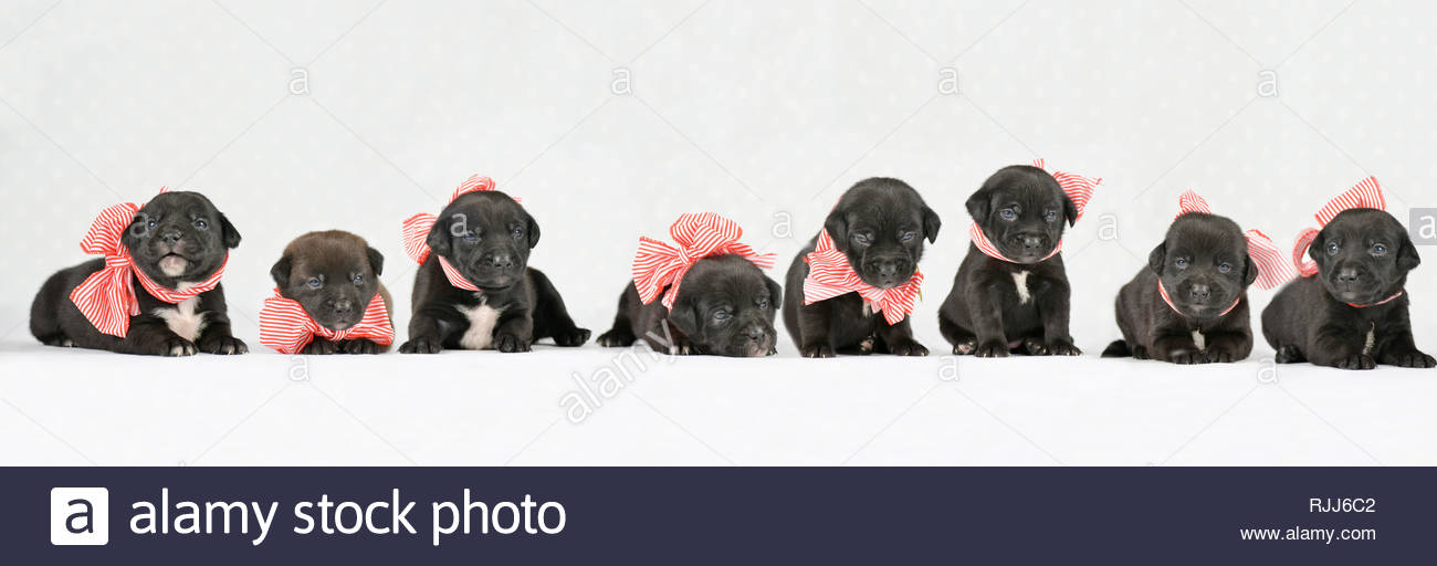 Mixed-breed dogs. Puppies (4 weeks old) , wearing a big red-and-white bow, seen head-on. Studio picture against a white background. Germany Stock Photo