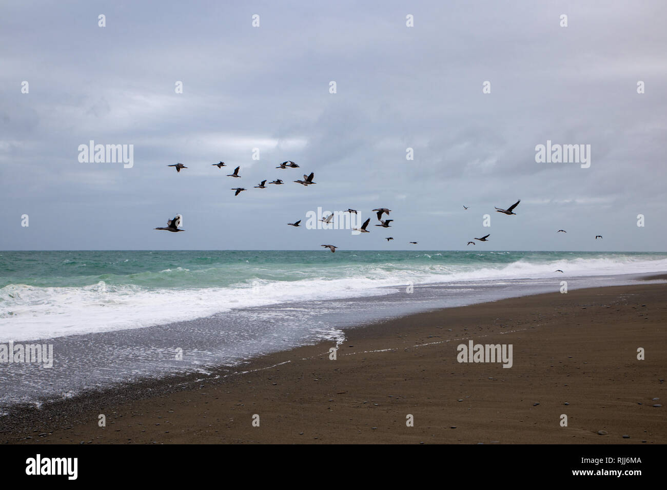 A group of spotted shags fly along the coastline in the evening at Birdlings Flat, New Zealand - Stock Image