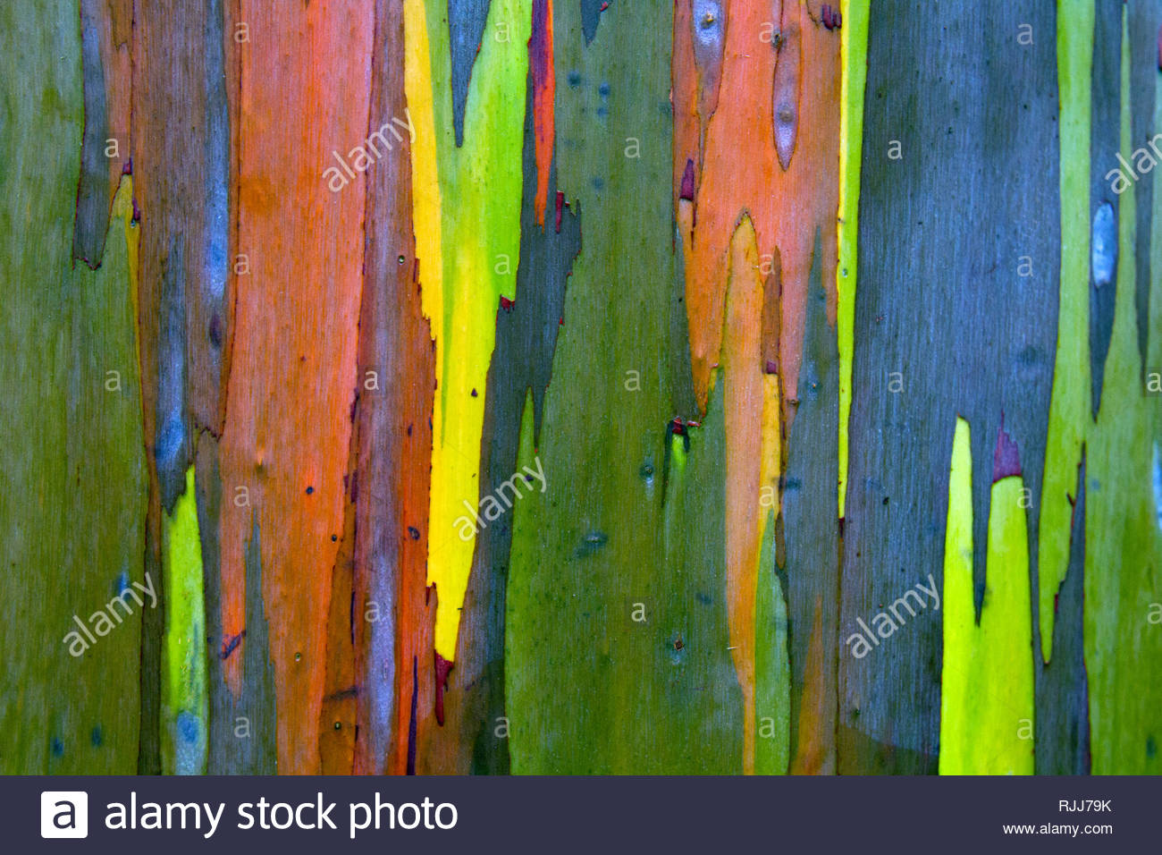 Eucalyptus Gum Tree Bark - Stock Image