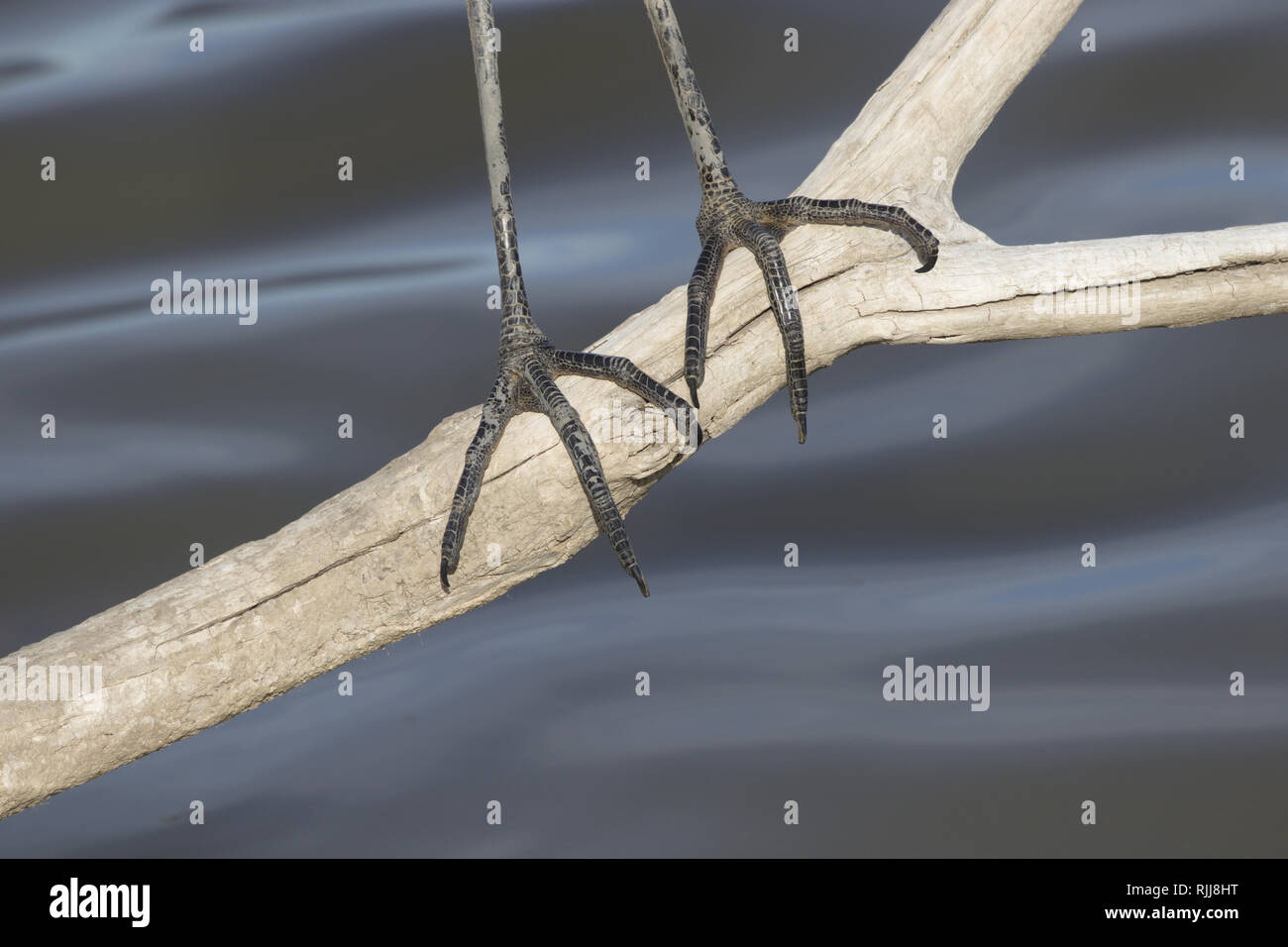Suggestive background is close up of just the sharp claws and dark feet of Great Blue Heron. - Stock Image