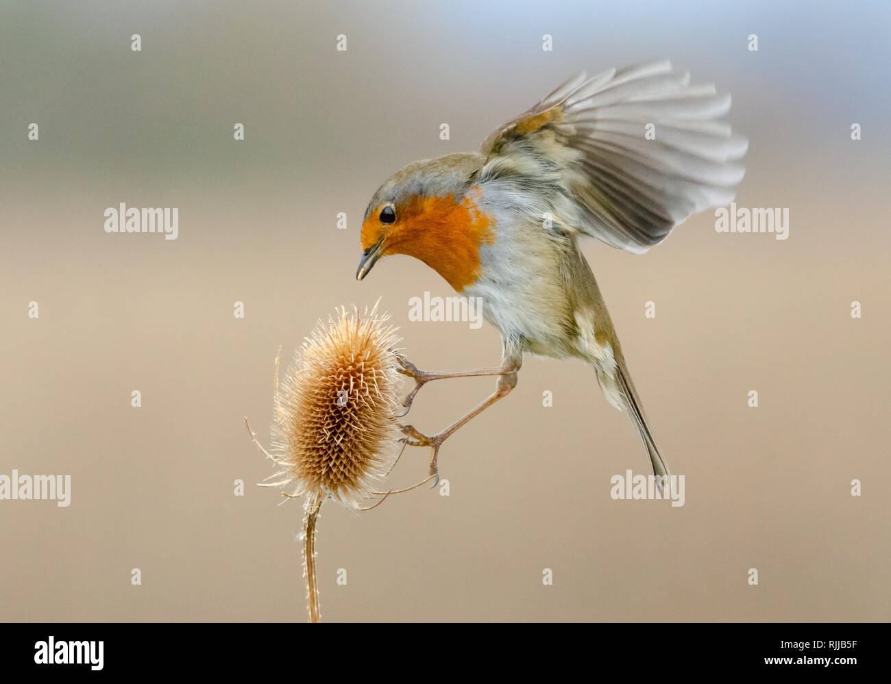 A hovering Robin - Stock Image