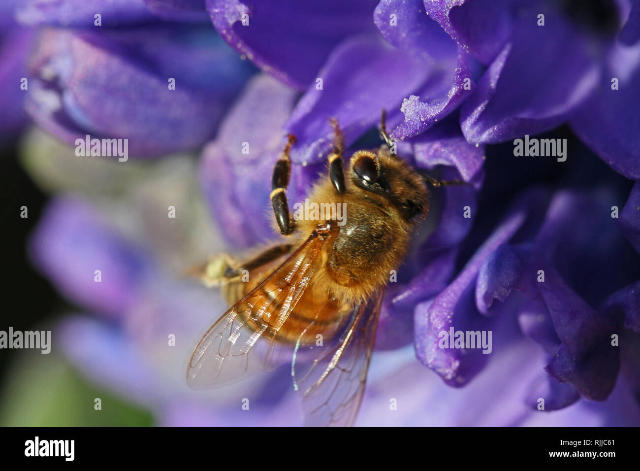 honey bee Latin apis mellifera collecting pollen on a blue hyacinth Latin hyacinthus orientalis family asparagaceae subfamily scilloideae  or bluebell - Stock Image
