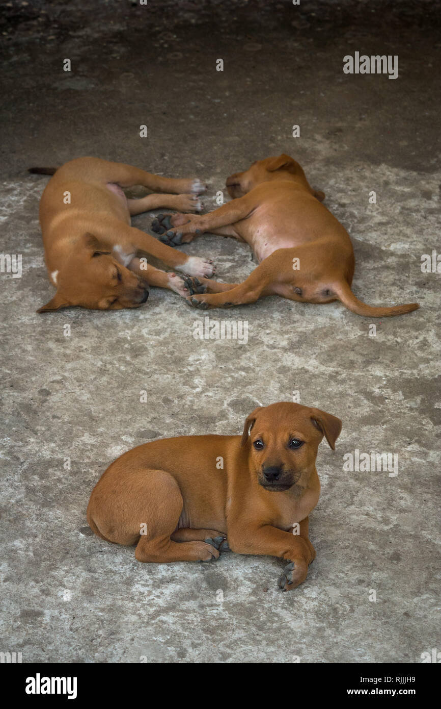 A group of golden sibling street dog puppies sleeping on a harsh concret floor. - Stock Image