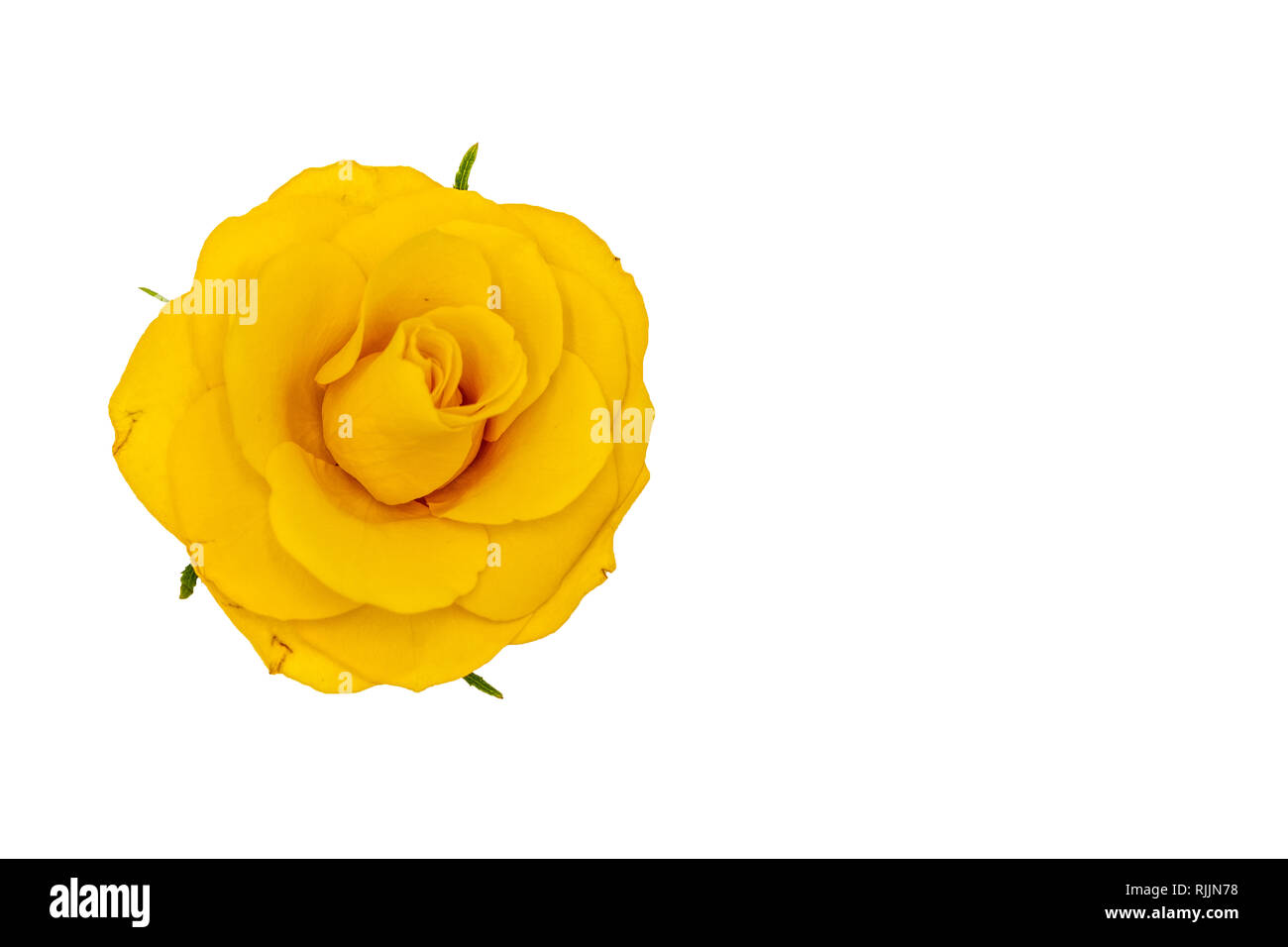 Single Yellow Rose Stock Photos Single Yellow Rose Stock Images
