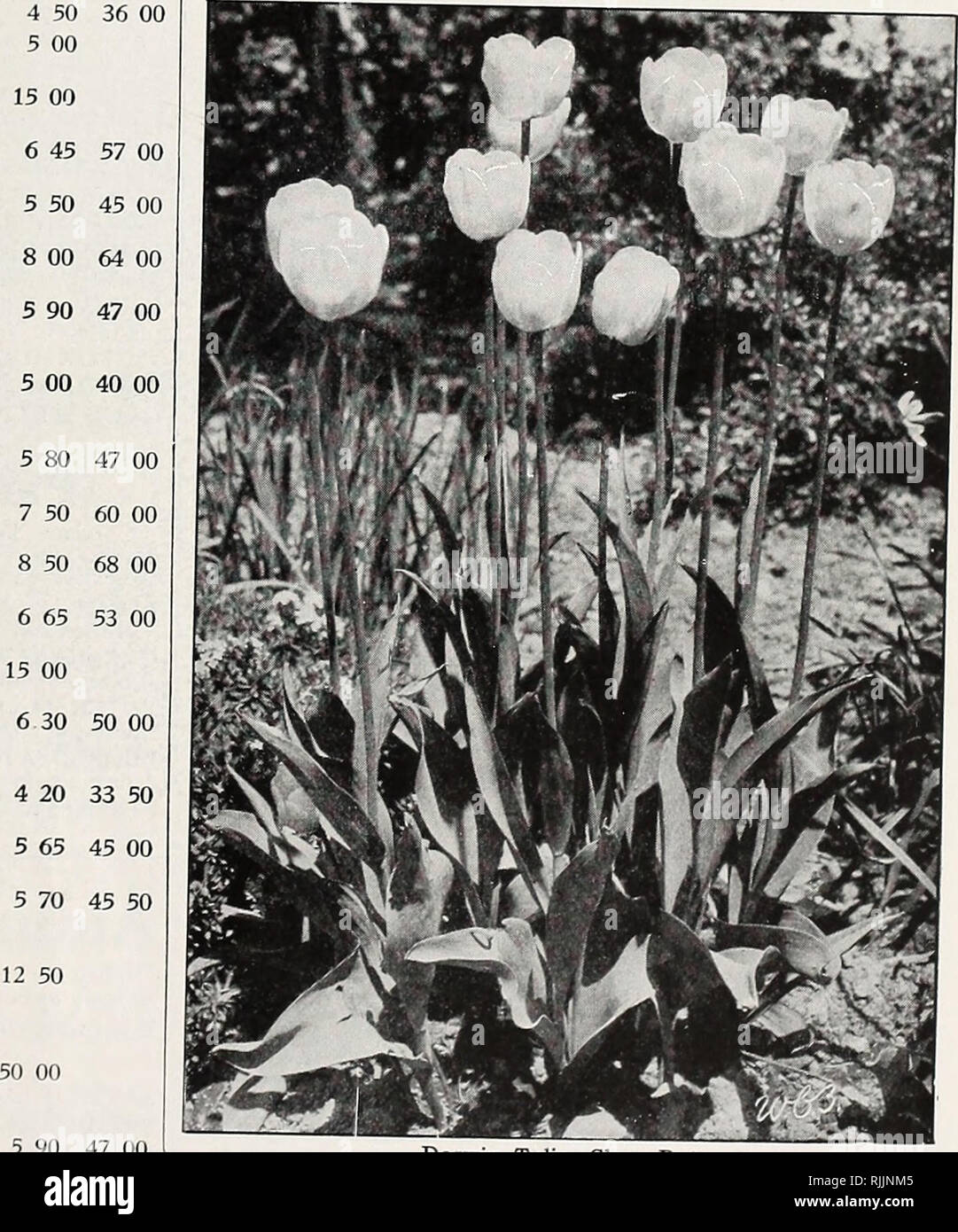 . Beckert's bulbs. Nurseries (Horticulture) Pennsylvania Pittsburgh Catalogs; Nursery stock Pennsylvania Pittsburgh Catalogs; Vegetables Seeds Pennsylvania Pittsburgh Catalogs; Flowers Seeds Pennsylvania Pittsburgh Catalogs; Bulbs (Plants) Pennsylvania Pittsburgh Catalogs. BECKERTS ANNUAL AUTUMN CATALOGUE OF CHOICEST BULBS Giant Darwin Tulips, continued AFTERGLOW ({Catherine Havemeyer). 26-D. Doz. 100 1,000 New color in Darwins. Clear, deep salmon- °-rjngiC' lit?ntcr at tne edges of the petals; in- side dark, glowing orange 40 els. each. S3 00 $10 00 APHRODITE. (New.) Most beautiful pink any l - Stock Image