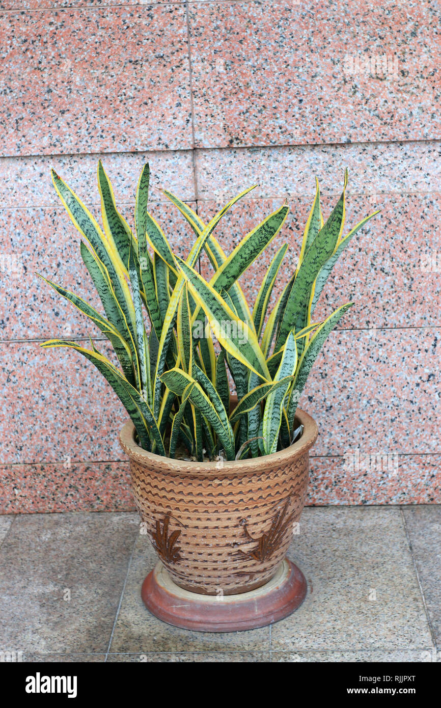 Sansevieria trifasciata or known as Mother in law's tongue or snake plant - Stock Image