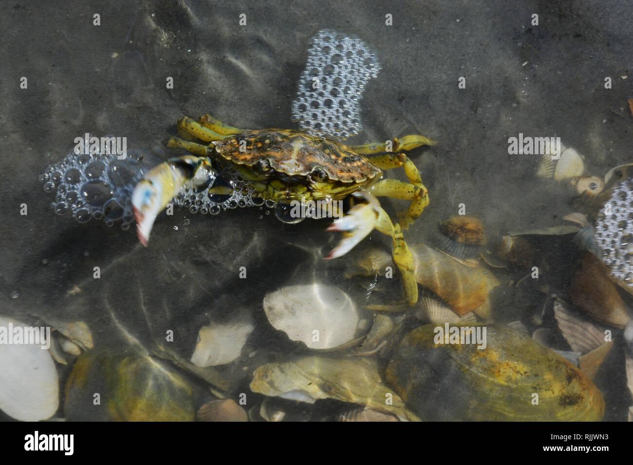 Krebs, Krabbe, Wattenmeer, Watt, Hintergrund - Stock Image