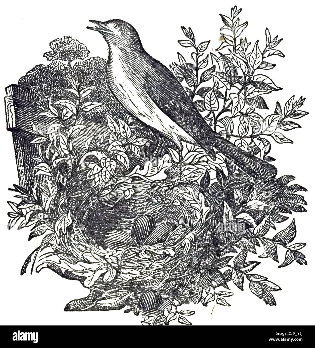 An engraving depicting a Common nightingale, a small passerine bird best known for its robust and beautiful song. Dated 19th century - Stock Image
