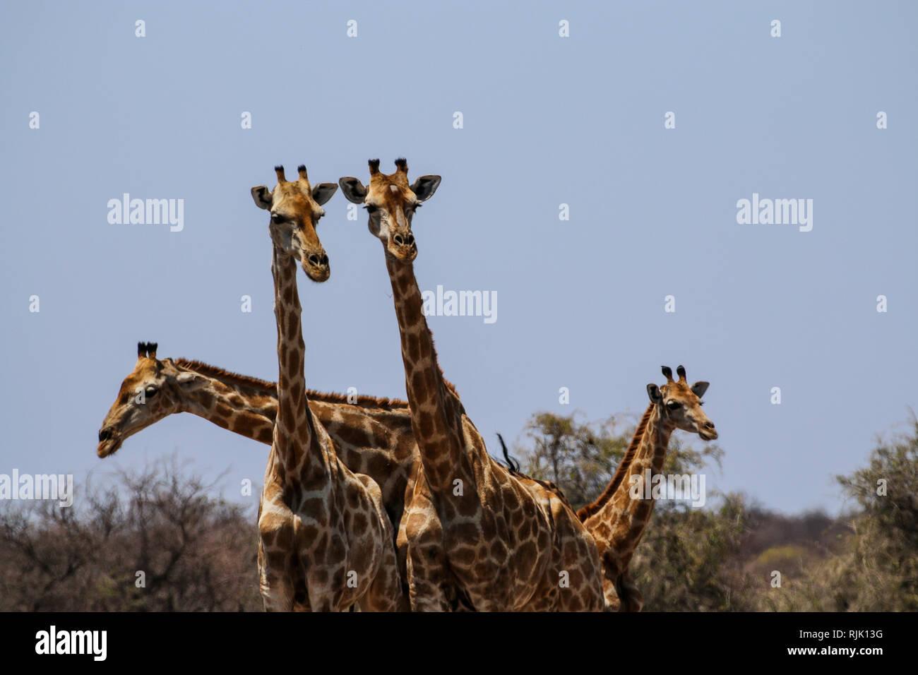 Giraffenköpfe im Etosha Nationalpark - Stock Image