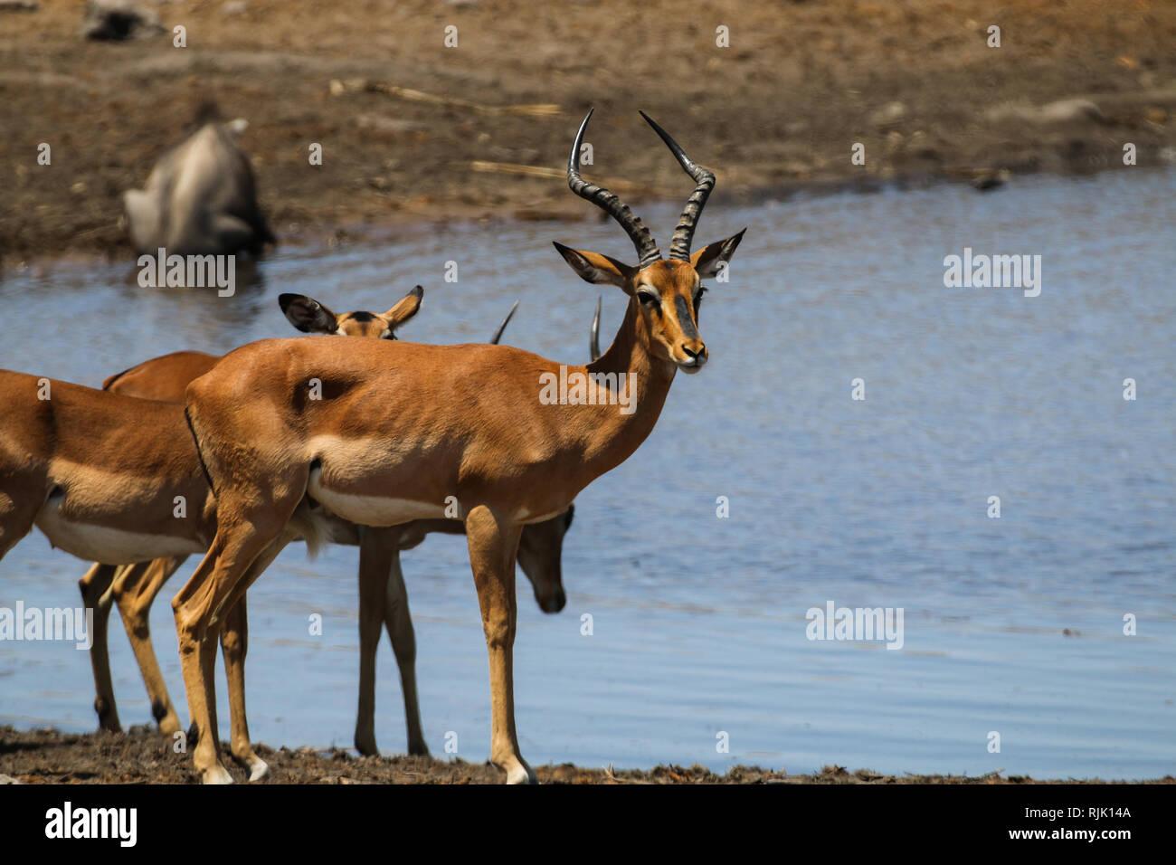 Impalas am Wasserloch in Namibia Stock Photo