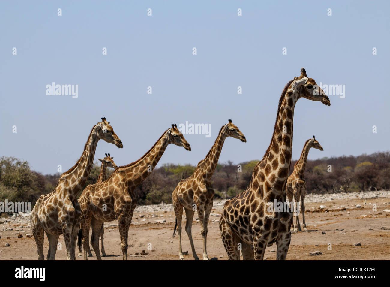 Giraffen beobachten ein Wasserloch Stock Photo
