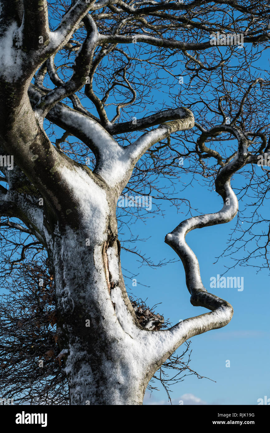 Close up of a tree pushed in one direction by the prevailing wind in winter with a patina of snow against a blue sky - Stock Image