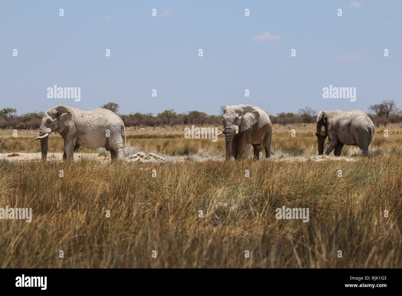 Elefantenbullen im Etosha-Nationalpark Stock Photo