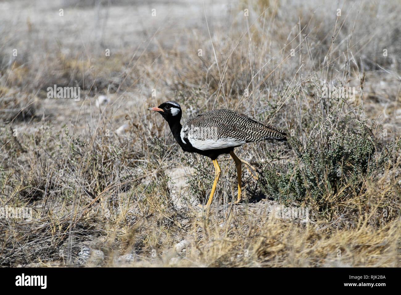 Vogel im Etosha Nationalpark Stock Photo