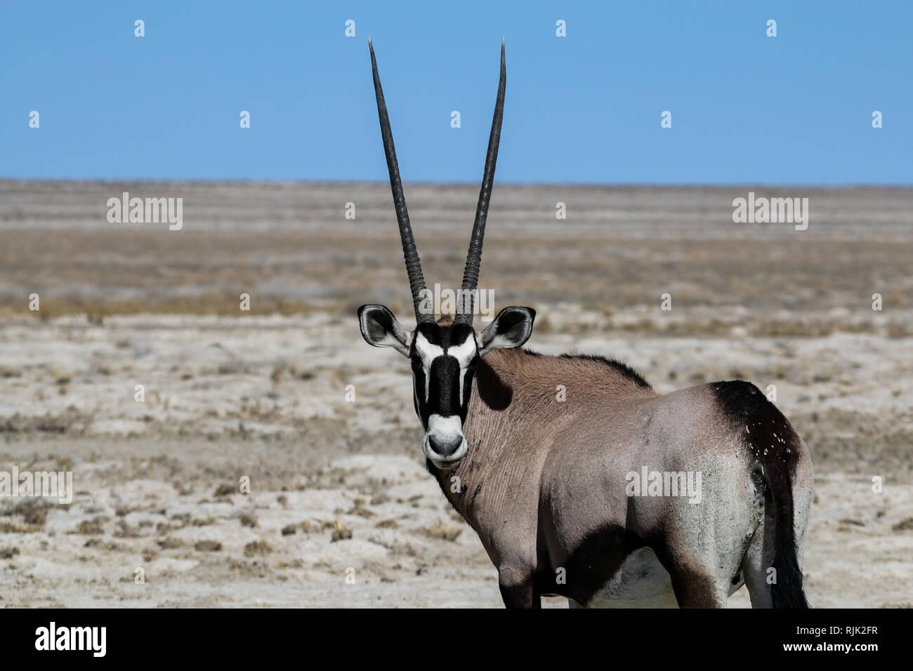 Oryx Antilope im Etosha Nationalpark Stock Photo