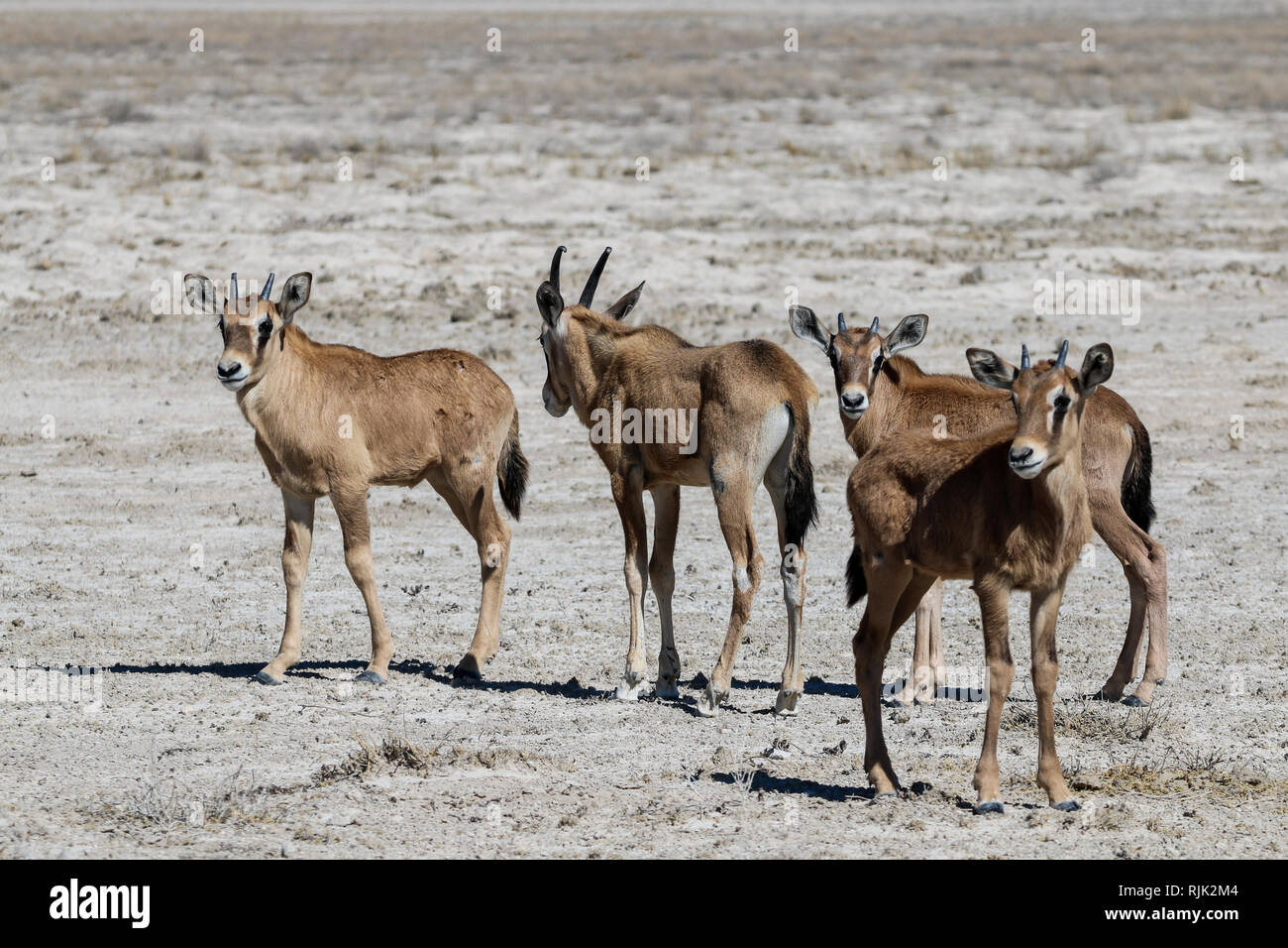 Oryx-Kalb im Etosha-Nationalpark Stock Photo