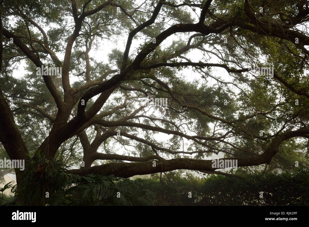 Tall sprawling Live Oak tree and long crooked branches with a misty background in Florida, USA. - Stock Image