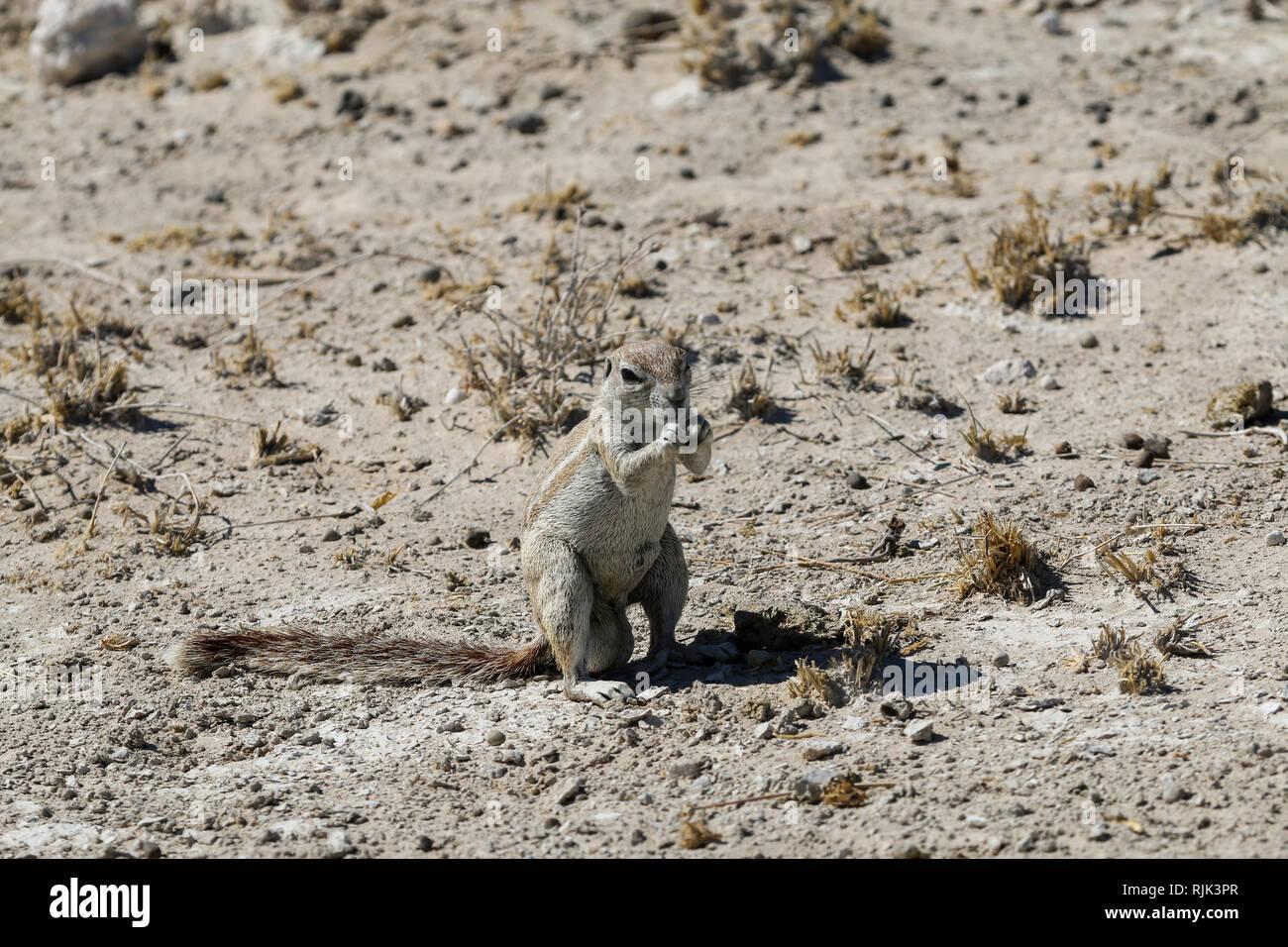 Streifenhörnchen in Namibia Stock Photo