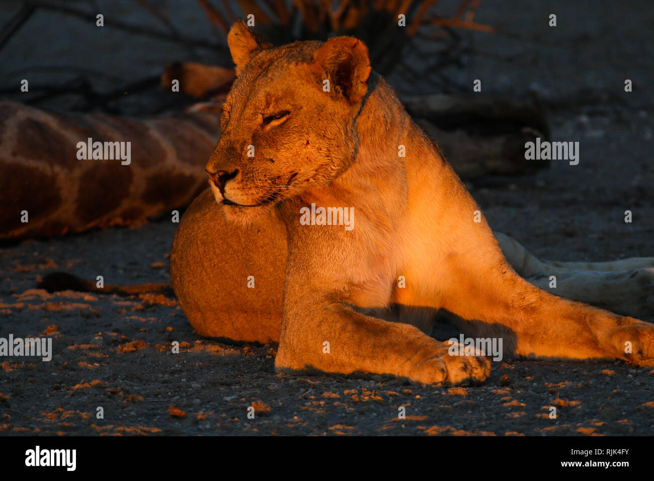 Löwin bewacht die Beute in Namibia Stock Photo