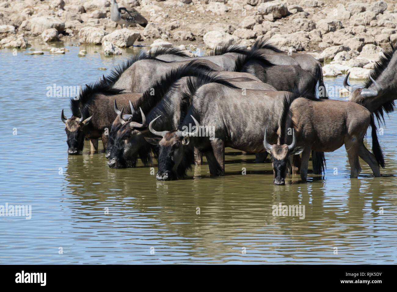 Gnus am Wasserloch Stock Photo