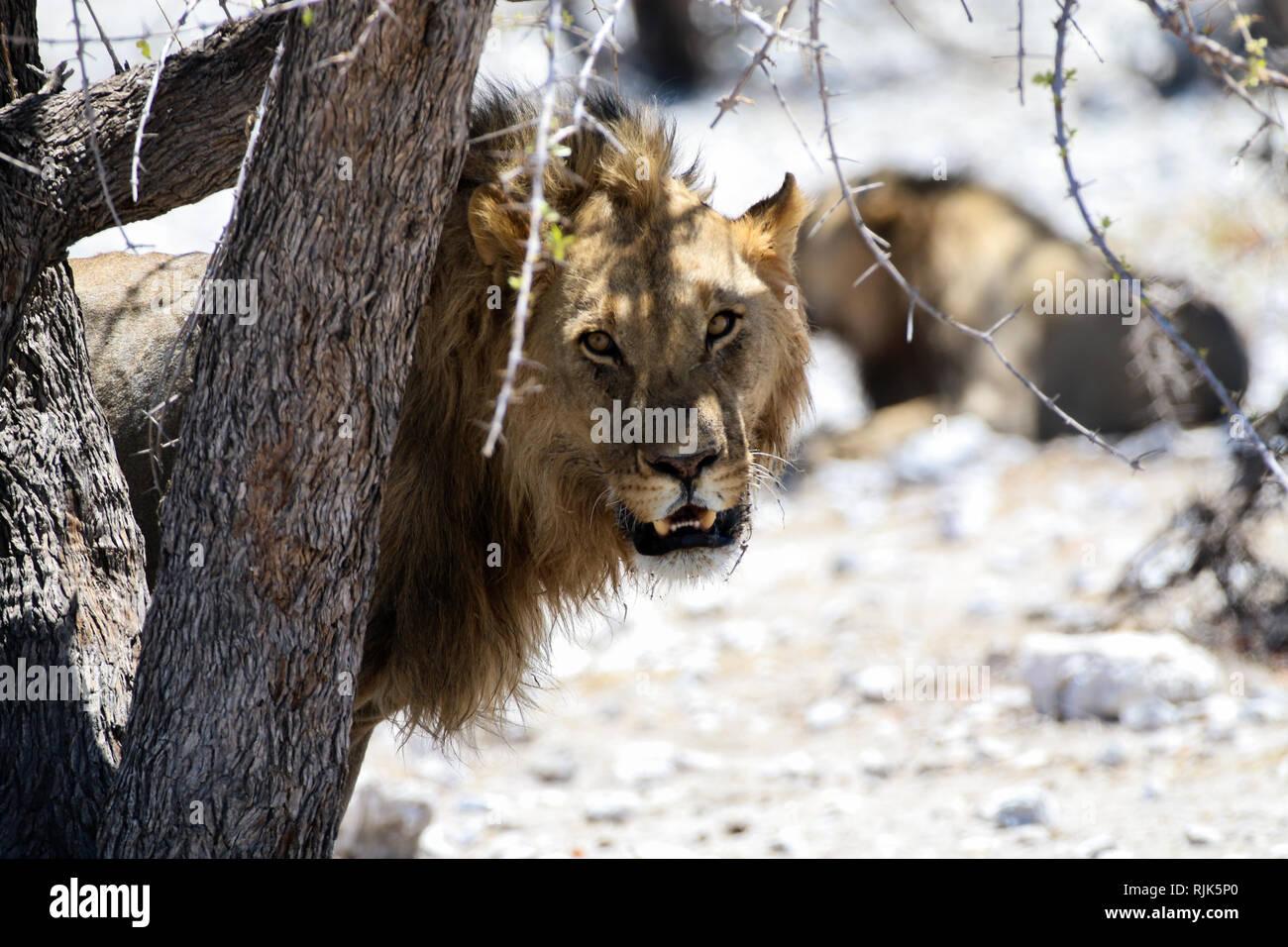Löwen im Etosha-Nationalpark Stock Photo