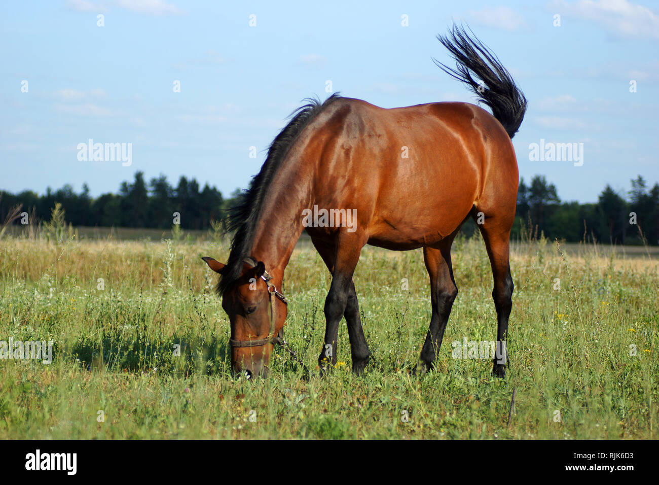 horse (Equus ferus caballus). A pet horse is grazed in a meadow. - Stock Image