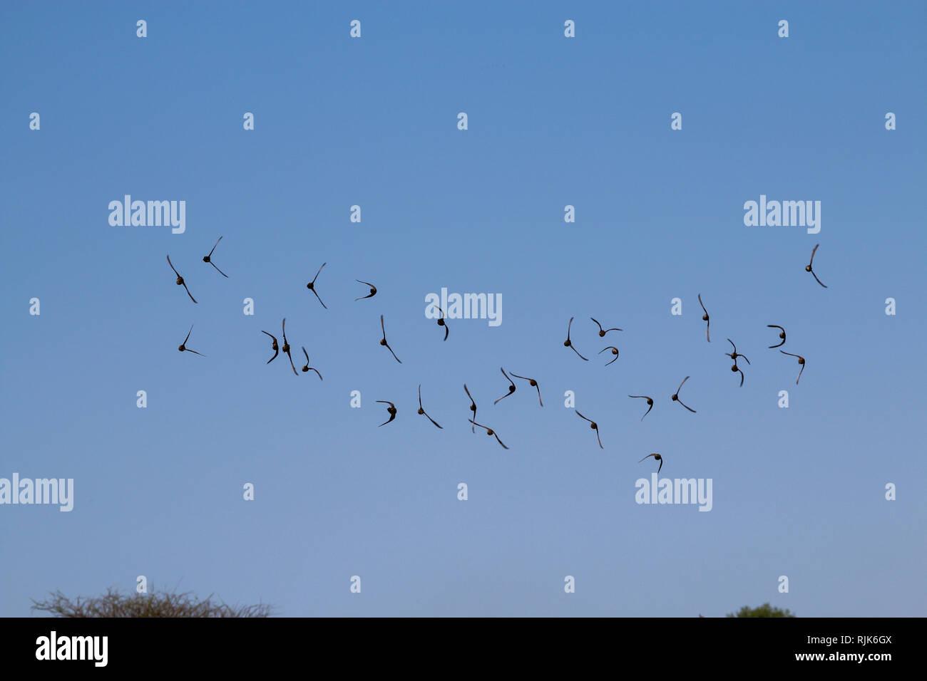 Helmperlhühner fliegen im Etosha Nationalpark Stock Photo