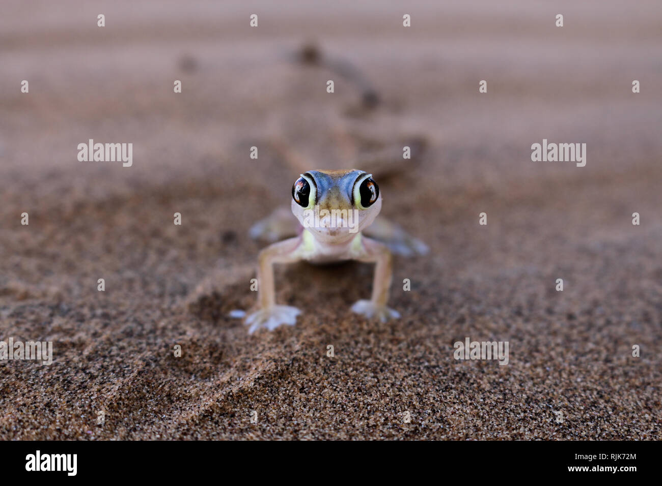 Gecko in der Namib Wüste Stock Photo