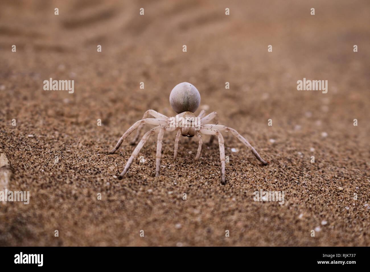 Spinne in der Namibwüste Stock Photo