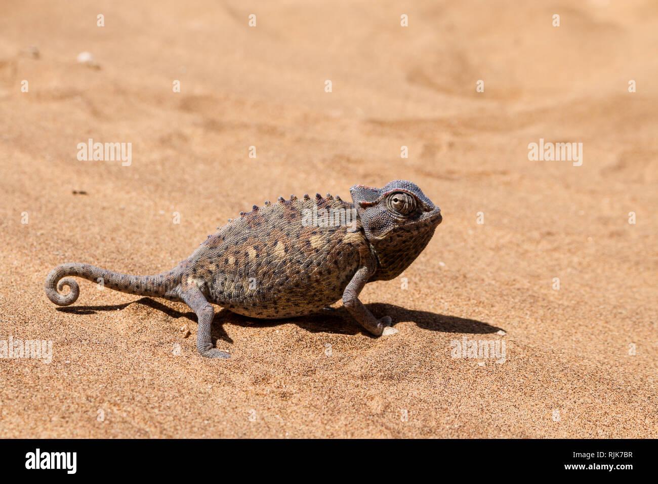 Chamäleon in der Namib-Wüste Stock Photo