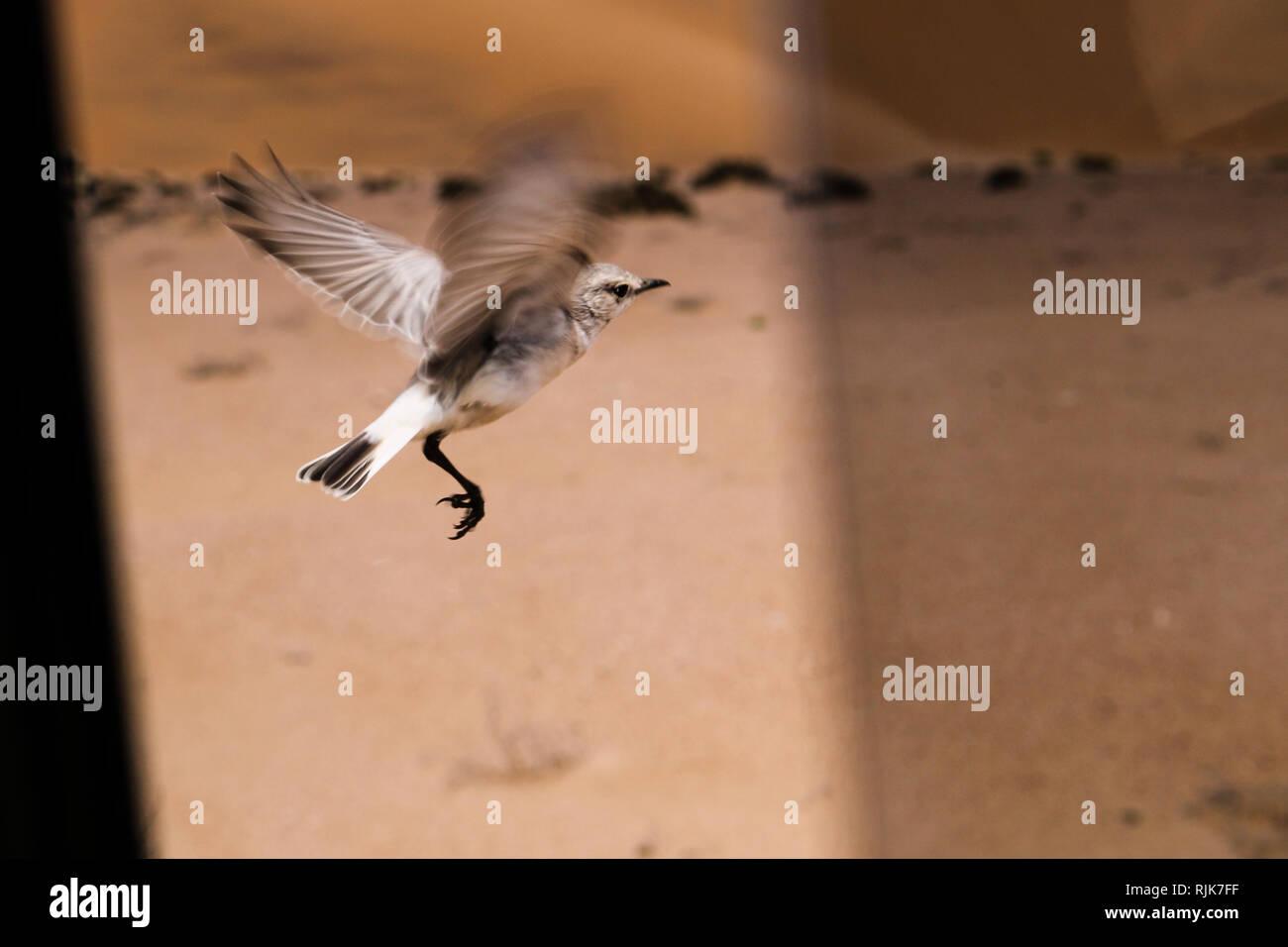 Vogel in der Namib - Stock Image