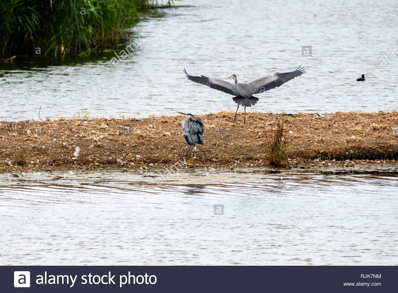 Grey Heron (Ardea cinerea) coming in to land, startling another, taken in London Wetland Centre, United Kingdom - Stock Image