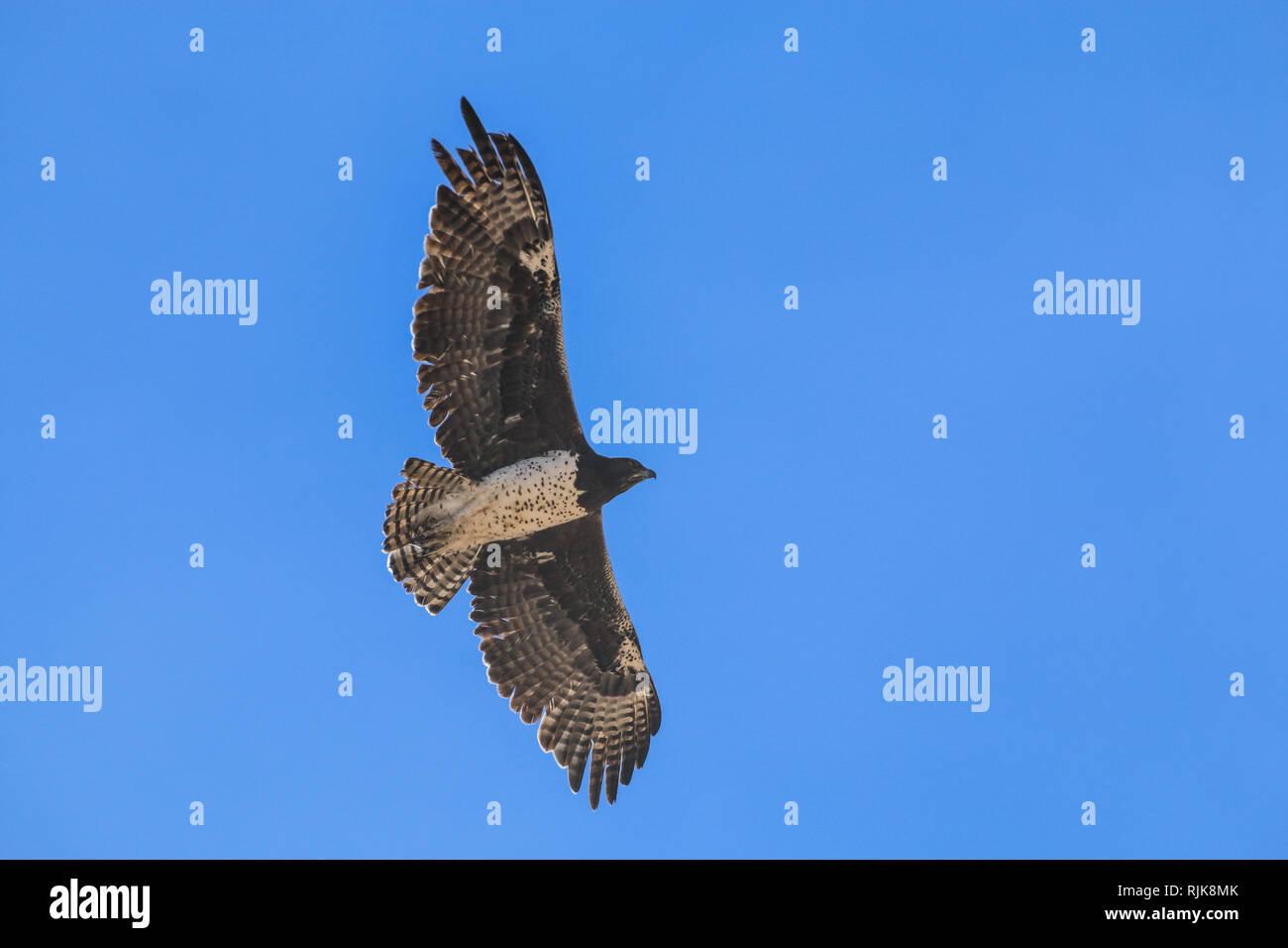 Adler in Namibia Stock Photo