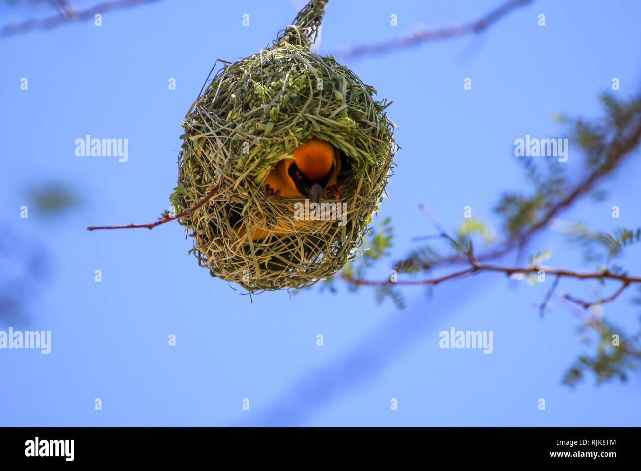 Webervogel beim Nestbau Stock Photo