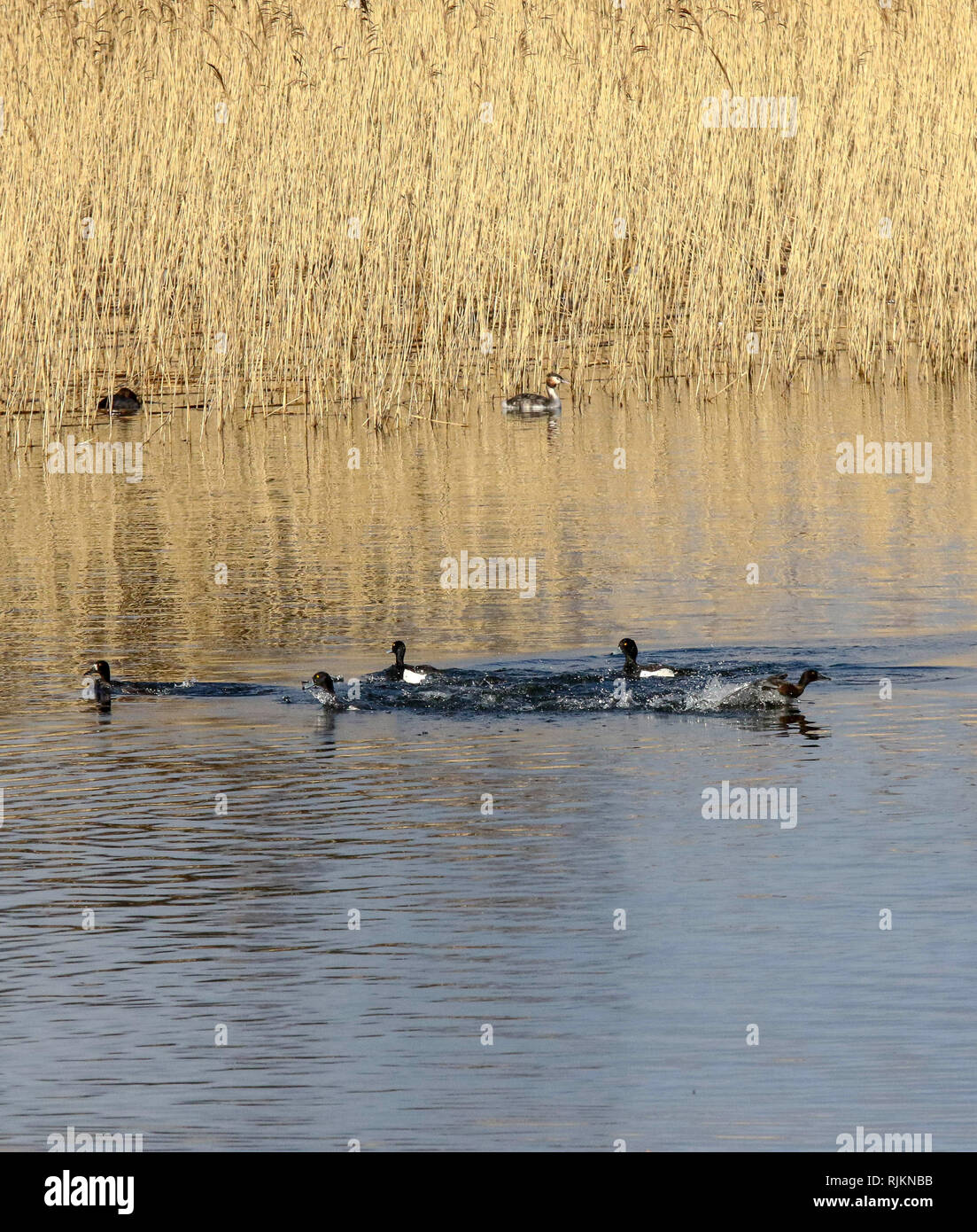 Oxford Island, Lough Neagh, Northern Ireland. 07 February 2019. UK weather - a bright sunny day after persisitent heavy overnight rain. Winds to increase with more heavy rain expected late Friday. Playing in the sunshine - ducks on Lough neagh. Credit: David Hunter/Alamy Live News. - Stock Image