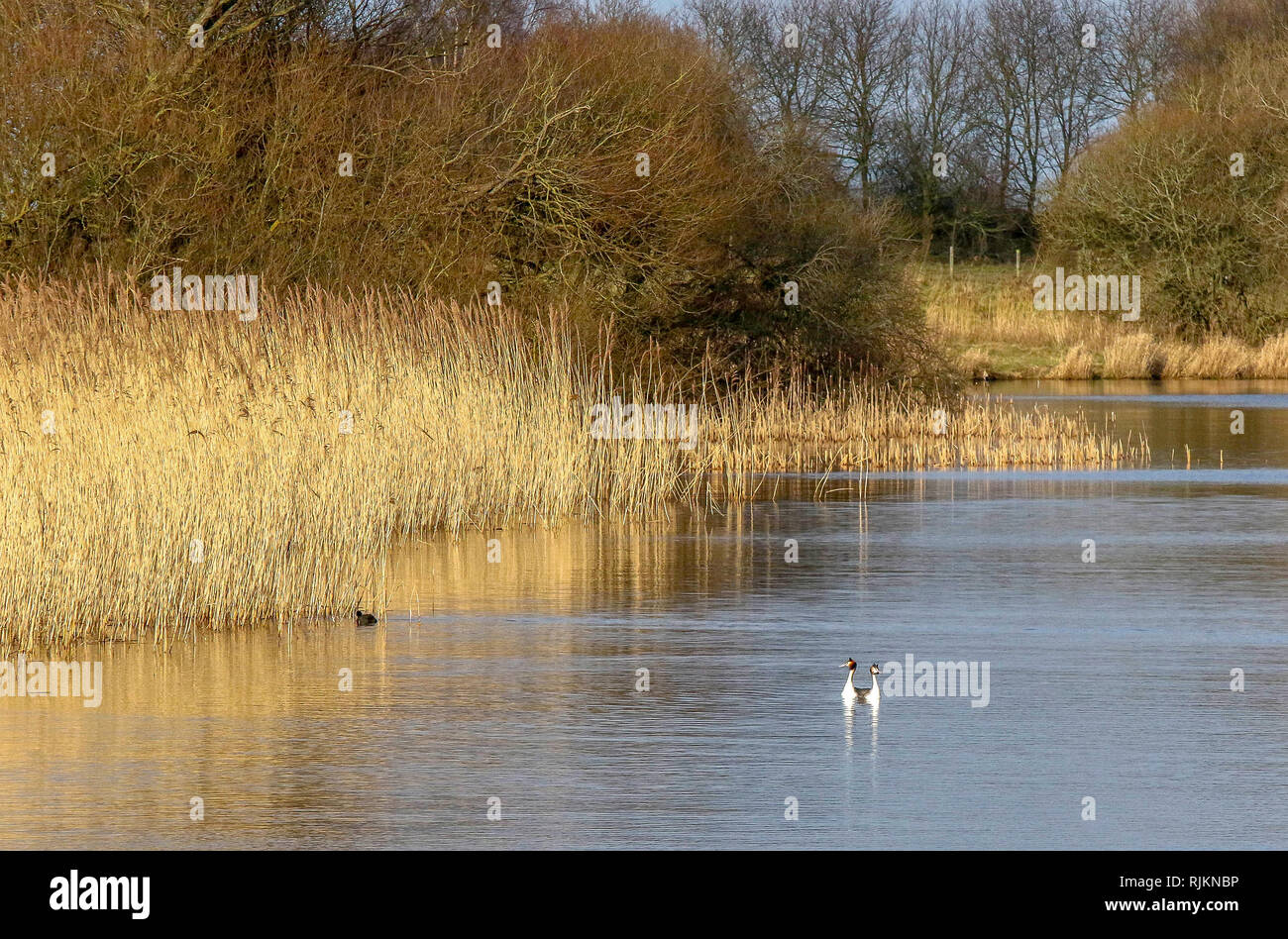 Oxford Island, Lough Neagh, Northern Ireland. 07 February 2019. UK weather - a bright sunny day after persisitent heavy overnight rain. Winds to increase with more heavy rain expected late Friday. Great crested grebes together in the sunshine. Credit: David Hunter/Alamy Live News. - Stock Image