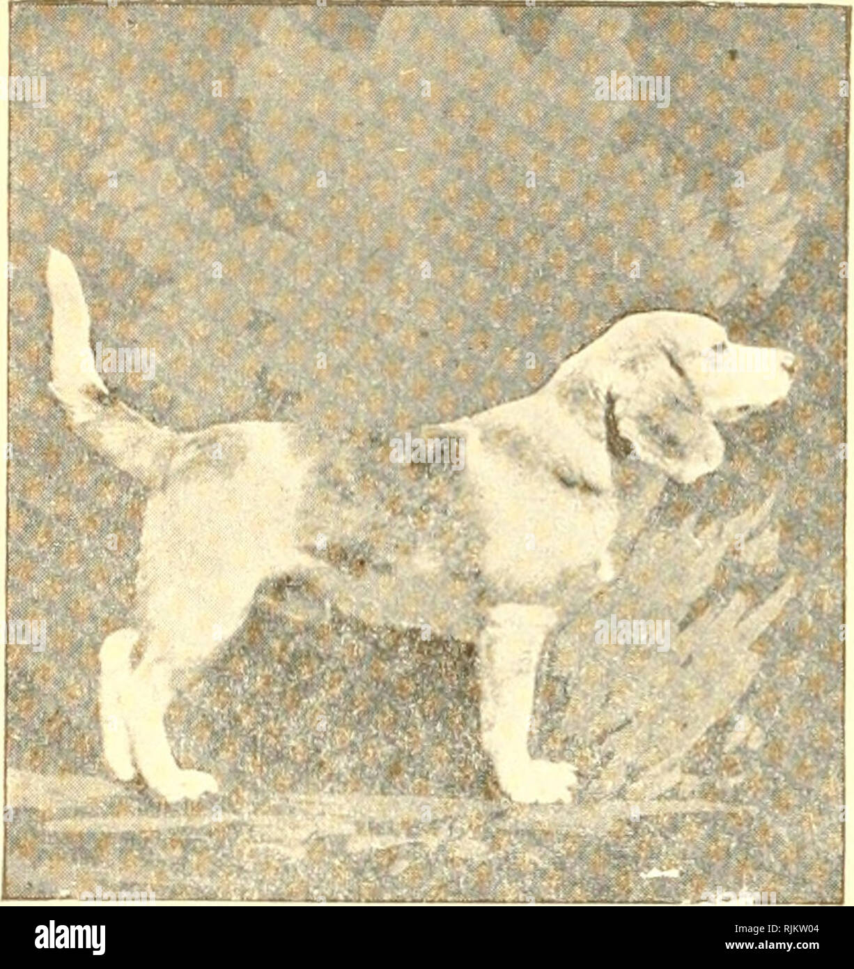 The Beagle And The Field Trials Beagle Dog Breed The Wharton